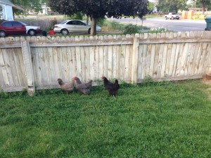 How to Free Range your Chickens in the City